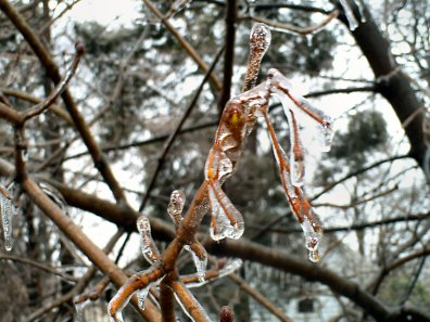 Wednesday morning's ice coats the branches of trees lining North Sanatoga Road.