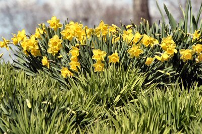 Spring is for daffodils, too, soon to be seen all across Sanatoga.