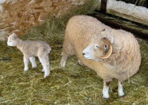 New lambs have arrived at Peter Wentz Farmstead.