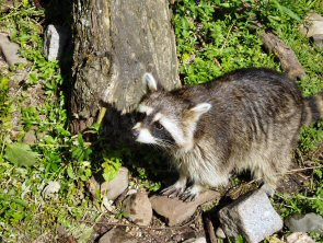 Stay away from wild animals like this raccoon, officials warn.